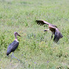 Marabou stork and vulture