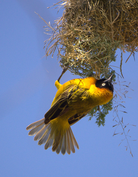 Male Speke's Weaver in the Serengeti