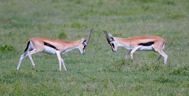 Two young Thomson's gazelle in combat
