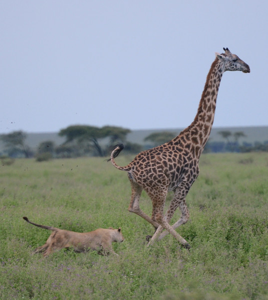 Giraffe being chased by lion