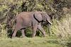 Elephant walking though the bush, Grumeti Game Reserve, Serengeti, Tanzania