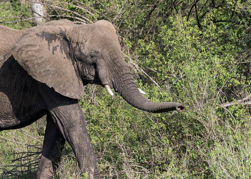 Muddy elephant feeding in the bush, Grumeti Game Reserve, Serengeti, Tanzania
