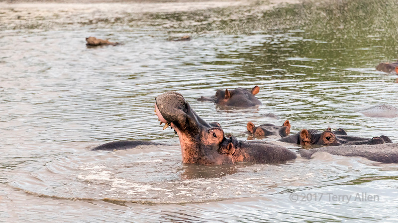 Making ripples, hippo opening mouth, Grumeti Serengeti Tented Camp, Tanzania