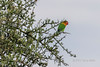 Fischer's lovebird (Agapornis fisheri) in a throrn tree, Grumeti National Park, Serengeti, Tanzania