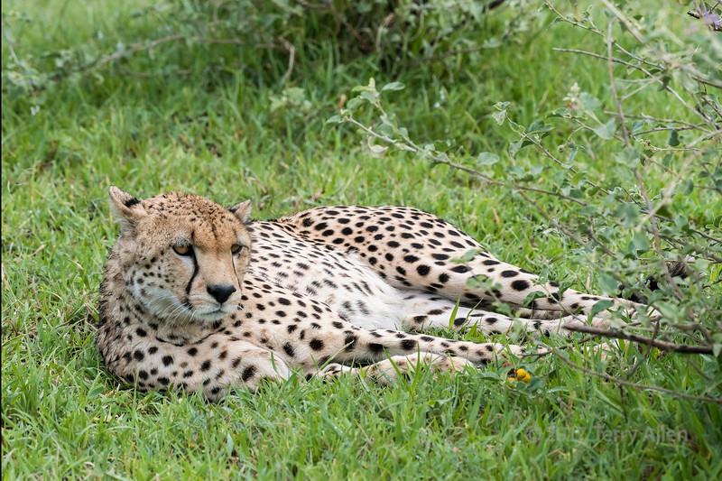 Cheetah (Acinonyx jubatus) resting in fresh grass, Grumeti Game Reserve, Serengeti, Tanzania