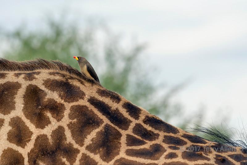 Yellow-billed oxpecker (tick bird, Buphagus, africanus) on Masai giraffe (Giraffa tippelskirchi), Grumeti Game Reserve, Tanzania