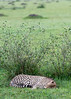 Cheetah sleeping by a small bush, Grumeti Game Reserve, Serengeti, Tanzania