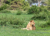 Young male lion keeping watch in fresh grass, Grumeti Game Reserve, Serengeti, Tanzania