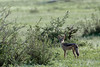 Black-backed jackal (Canis mesomelas), Grumeti Game Reserve, Serengeti, Tanzania