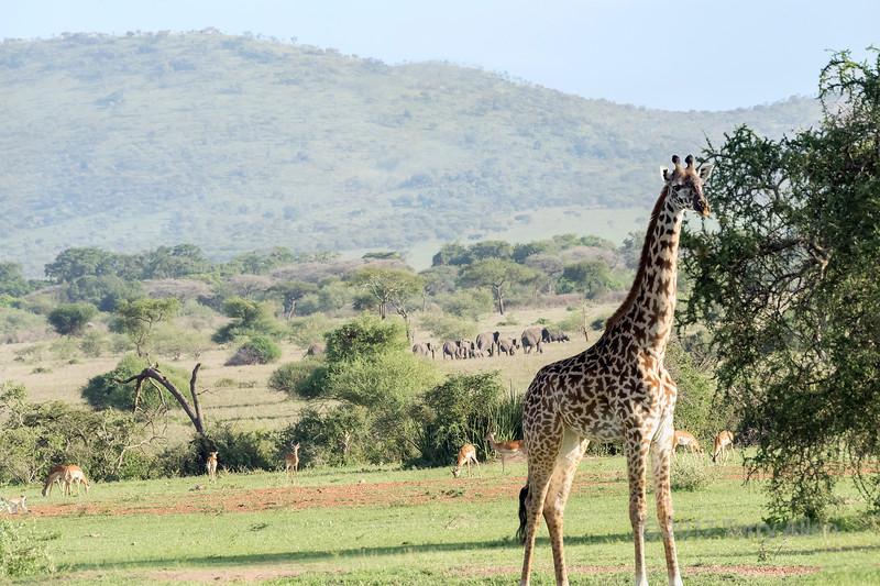 Giraffe, elephants, impala, rhinocerus and baboon in the savanna, Grumeti Game Reserve, Serengeti, Tanzania