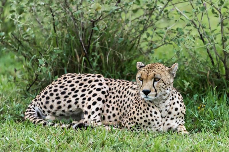 Male cheetah resting in the grasss, Grumet Game Reserve, Serengeti, Tanzania