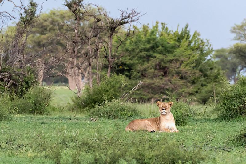 Alert female lion, Grumeti Game Reserve, Serengeti, Tanzania
