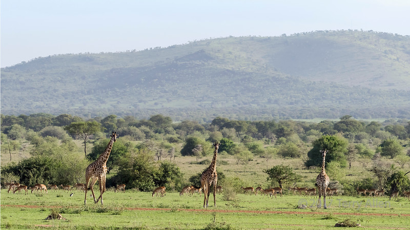 Father, mother and baby giraffe with impala herd and monkeys, Grumeti Game Reserve, Tanzania
