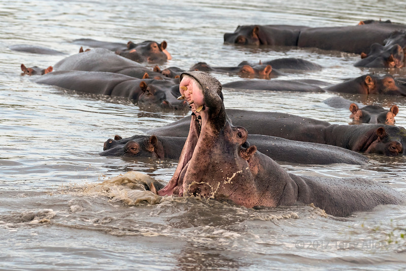 Hippo display