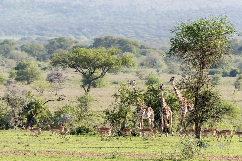 Giraffes with baby giraffe feeding in the acacia trees with a herd of impala, Grumeti Game Reserve, Serengeti, Tanzania