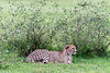 Male cheetah with bedraggled fur around its neck and head from a kill, Grumeti Game Reserve, Serengeti, Tanzania