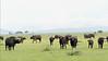 Mixed sizes of Cape buffalo on spring grass, Grumeti Game Reserve, Serengeti, Tanzania