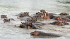 Pod of hippopotemusus at a high level of activity on the Grumeti River, Grumeti Game Reserve, Serengeti, South Africa