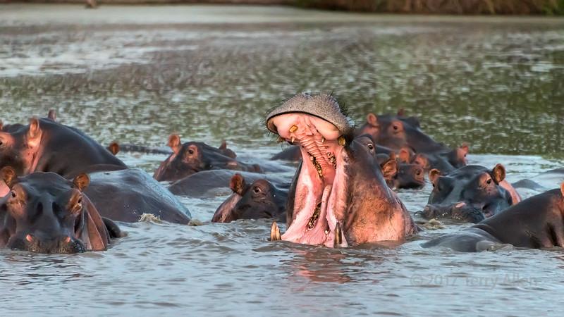 Dominant hippo displaying at sunset, Grumeti Serengeti Tented Camp, Tanzania