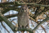 Verreaux's eagle-owl in a tree top, Gumeti Game Reserve, Serengeti, Tanzania