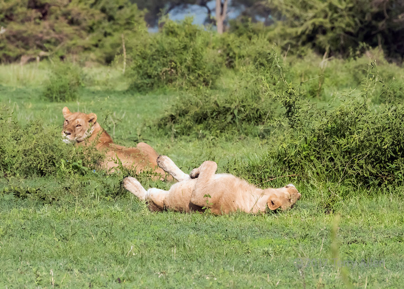 One lion relaxing while the other keeps watch, Grumeti Game Reserve, Serengeti, Tanzania