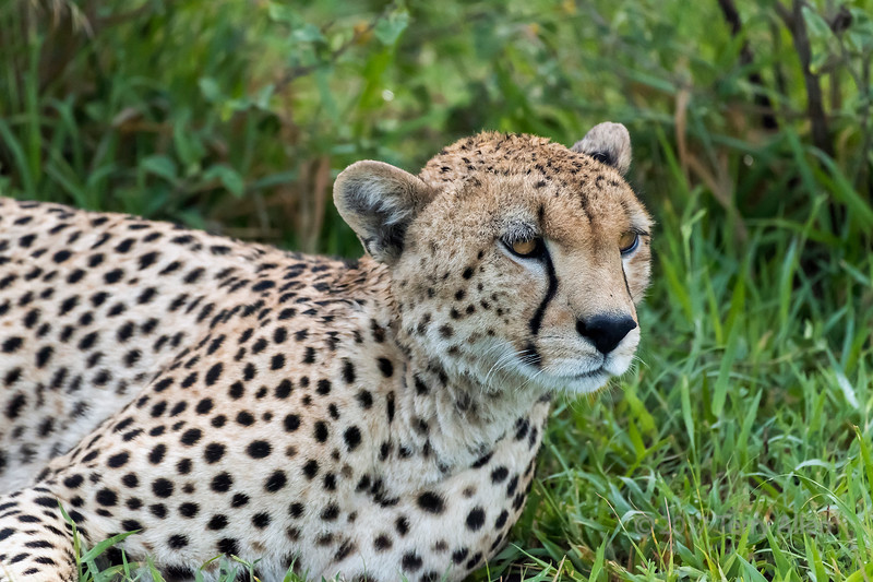 Portrait of a male cheetah, Grumeti Game Reserve, Serengeti, Tanzania
