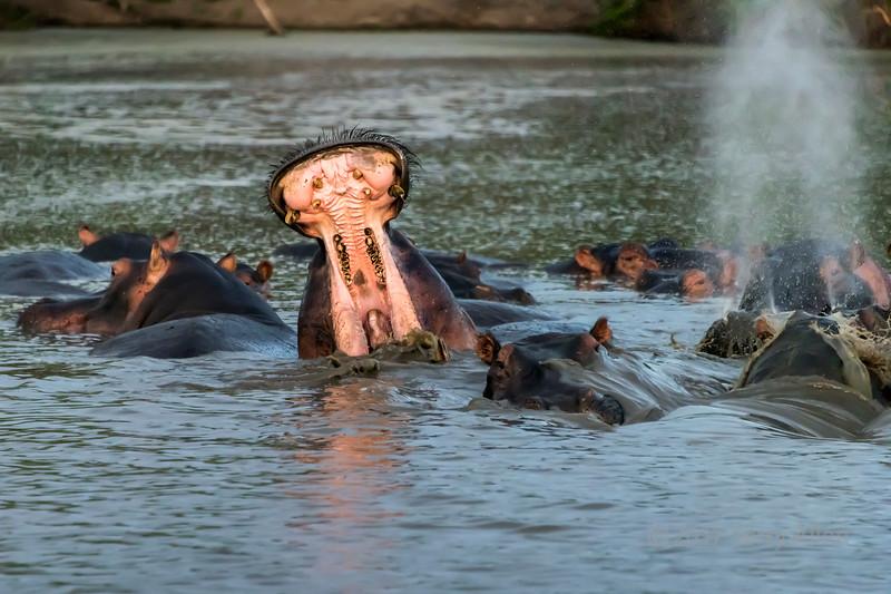 Splashes, waves, mist and open mouths, Hippo Pool, Grumeti Serengeti Tented Camp, Tanzania
