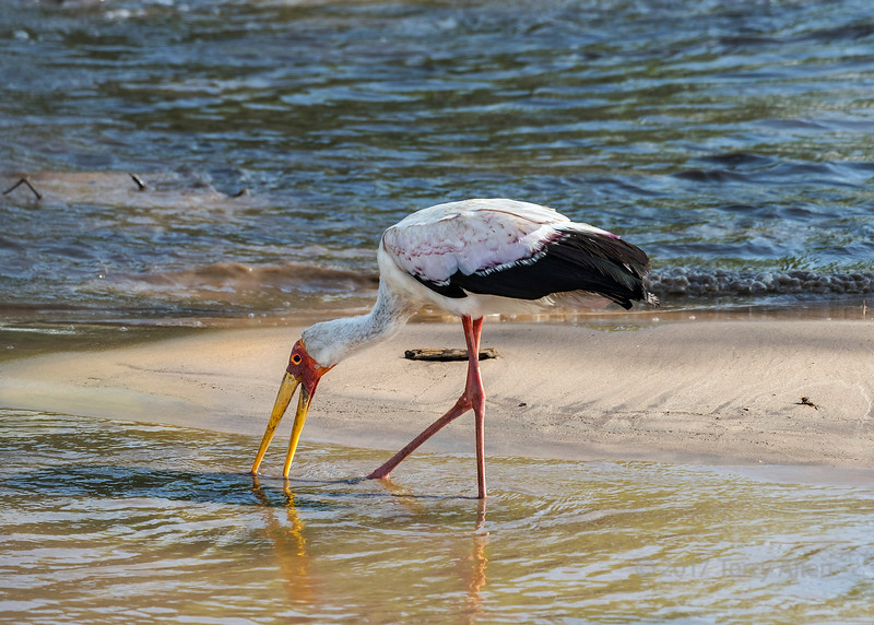 Yellow-billed stork (Mycteria ibis, wood ibis) fishing in the swollen Grumeti River, Serengeti, Tanzania