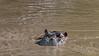 Hippopotamus (Hippopotamus amphibius) surfacing in the muddy Grumeti River, Serengeti, Tanzania