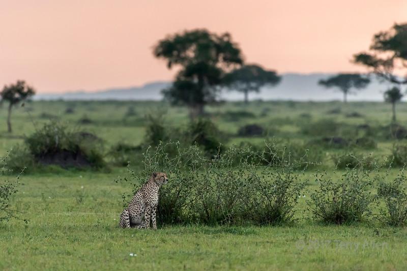 Cheetah sitting by a bush at sunrise, Grumeti Game Reserve, Serengeti, Tanzania