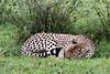 Sleeping cheetah, but still alert, Grumeti Game Reserve, Serengeti, Tanzania