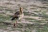 Egyptian duck (Alopochen aegyptiaca) with backlit foot, Grumeti Game Reserve, Tanzania