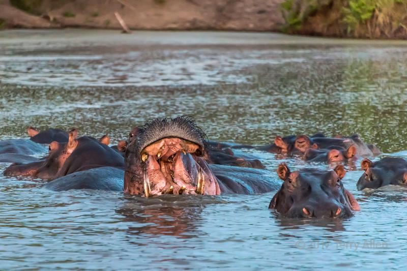 Sunset display showing lower incisors, Hippo Pool, Grumeti Serengeti Tented Camp, Tanzania