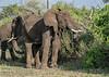 Elephants caked in mud feeding in the bush, Grumeti Game Reserve, Serengeti, Tanzania
