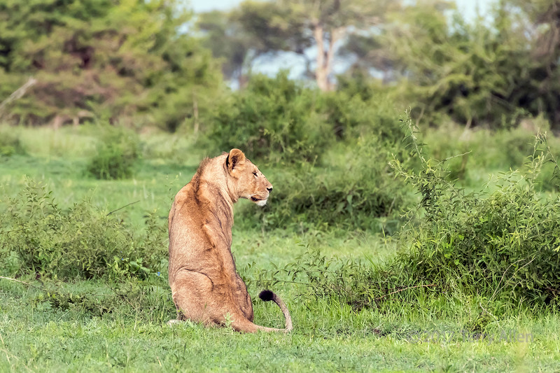 Young male lion back view with head turned, Grumeti Game Reserve, Serengeti, Tanzania