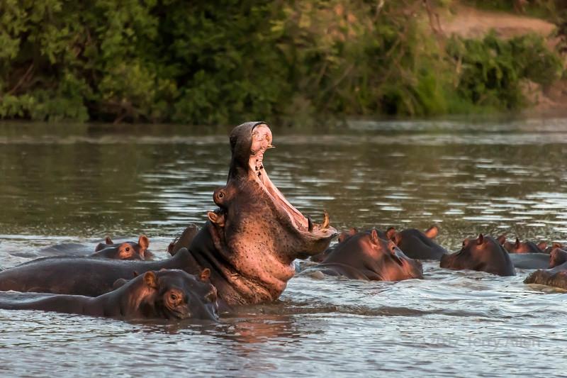 Sunset dominance display, Hippo Pool, Grumeti Serengeti Tented Camp, Tanzania