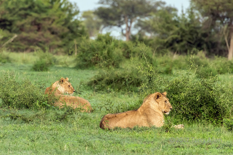 Flies on the heads of male and female lions in the fresh grass, Grumeti Game Reserve, Serengeti, Tanzania