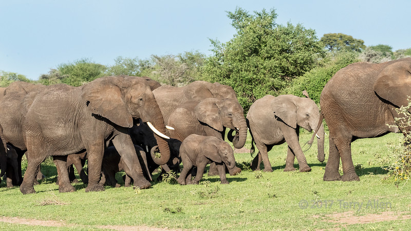 Elephant herd with babies and adolescents, Grumeti Game Reserve, Tanzania