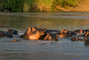 Large and small hippos at the Hippo Poot at sunset, Grumeti Serengeti Tented Camp, Tanzania