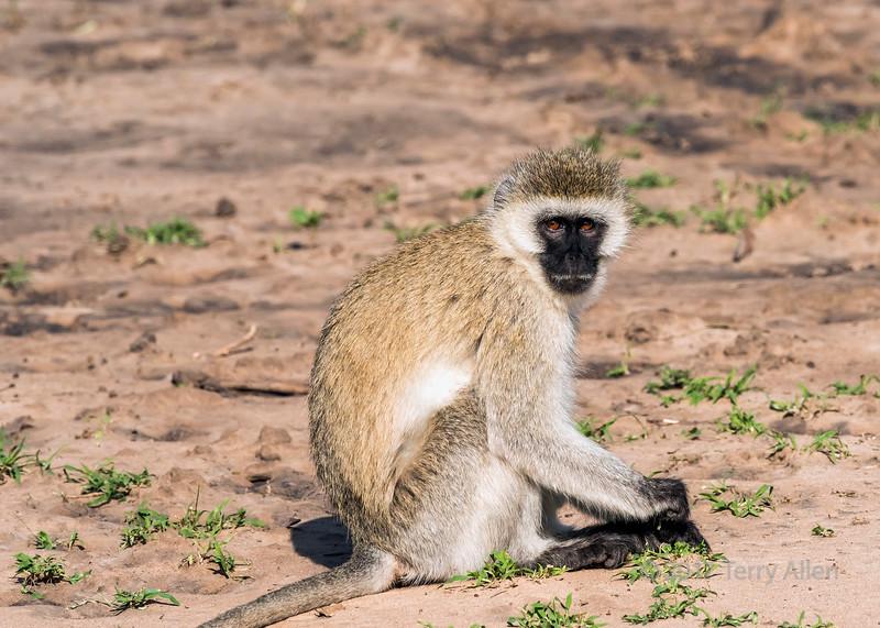 V is for Vervet monkey