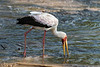 Yellow-billed stork (Mycteria ibis, wood ibis) fishing in the fast running Grumeti River, Serengeti, Tanzania