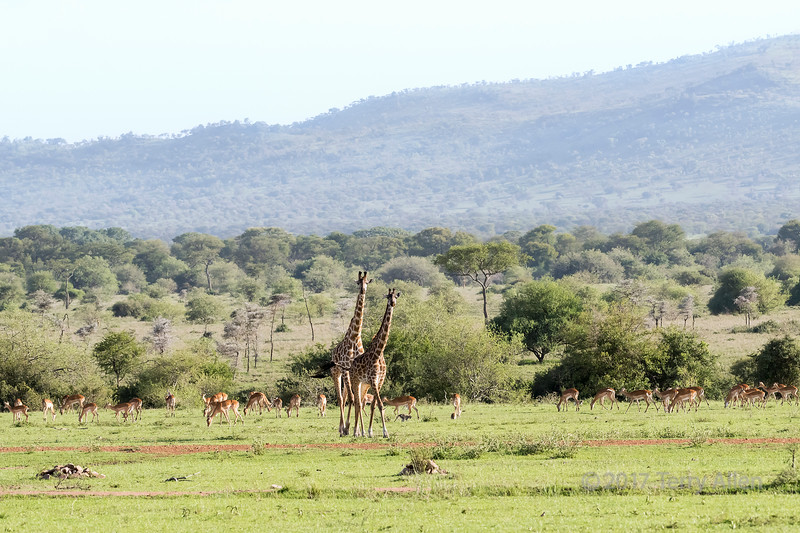 Mother and baby giraffe with herd of impala and monkeys, Grumeti Game Reserve, Tanzania