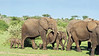 New born and baby elephant walking with the herd, Grumeti Game Reserve, Tanzania