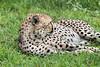 Cheetah (Acinonyx jubatus) resting after a big meal, Grumeti Game Reserve, Serengeti, Tanzania