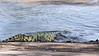 Nile crocodile racing into the water, Grumeti River, Serengeti, Tanzania