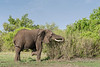 Elephant covered with dried mud feeing in the bush, Grumeti Game Reserve, Serengeti, Tanzania