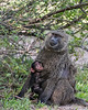 Portrait of an olive babooon (Papio anubis) nursing her baby, Grumeti Game Reserve, Serengeti, Tanzania