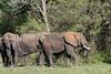 Muddy elephants in the bush coming from the Grumeti River, Grumeti Game Reserve, Serengeti, Tanzania