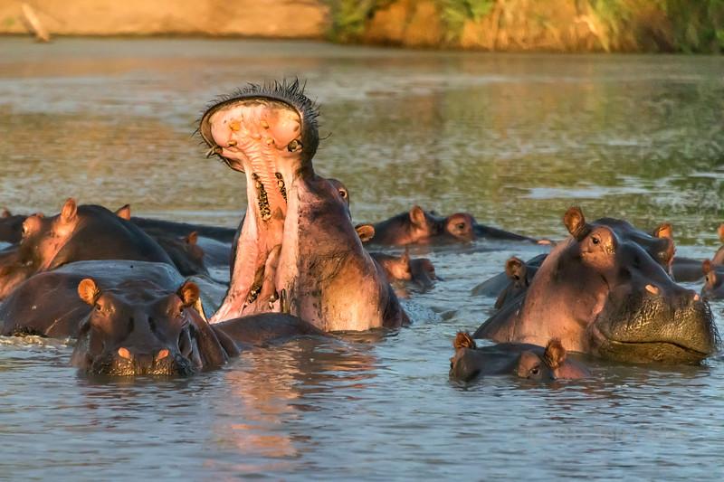 Sunset with dominance display, Hippo Pool, Grumeti Serengeti Tented Camp, Tanzania