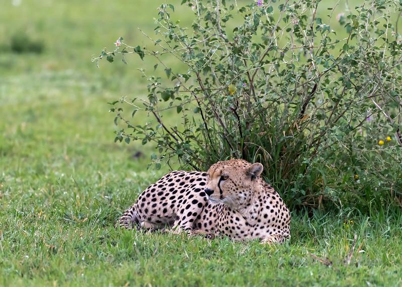 Male cheeetah after a large meal, Grumeti Game Reserve, Serengeti, Tanzania
